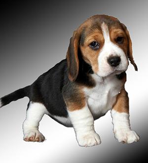 Какую собаку лучше всего заводить в квартире