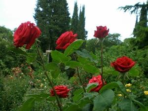 Сорта и виды роз