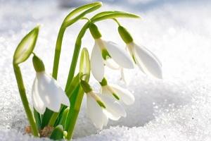 Цветы подснежники в марте