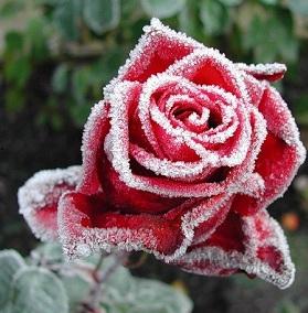 Как укрывать розы в осенне-зимний период